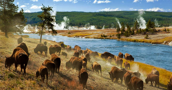 Portico Excursions Yellowstone National Park buffalo